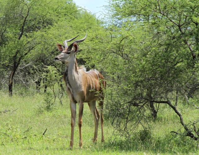 Um gazelo