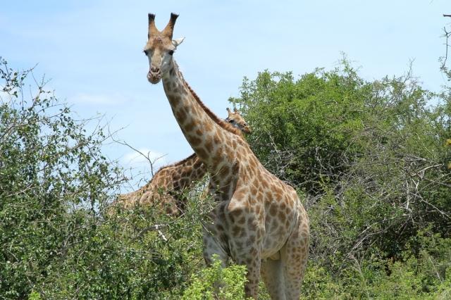 girafas 3