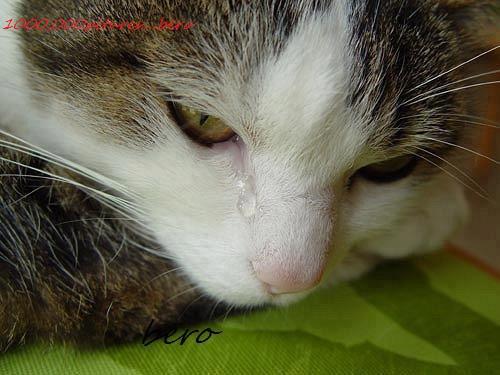 gato chorando