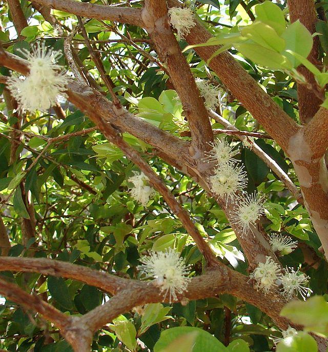 flor de jabuticaba