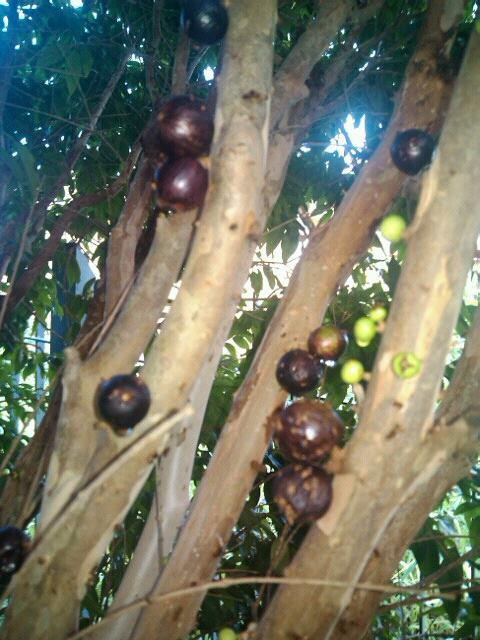 jabuticabeira frutos