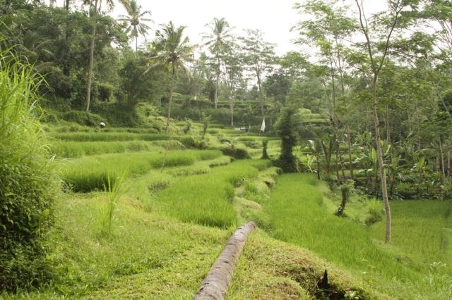 arrozal 2
